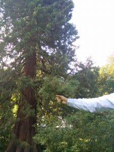 Sequoia-cueilli-au-parc-Tournay-Solvay-à-Boitsfort